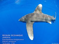 /images/espece/requin_ailerons_blanc_large.jpg