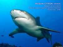 /images/espece/requin_citron.jpg