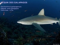 /images/espece/requin_galapagos.jpg