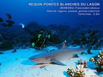 /images/espece/requin_pointes_blanches_lagon.jpg