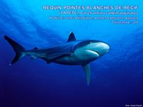 /images/espece/requin_pointes_blanches_recif.jpg